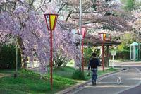 日岡山の桜 ⑭ - グル的日乗