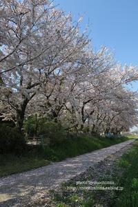 桜 - 気ままなたわし