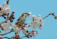 桜にニュウナイスズメがやってきました 2 - ひげ親爺の探鳥日記