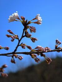 お花見がてら、アマゴ釣り。 - terry's Photo Lounge <ffb2>