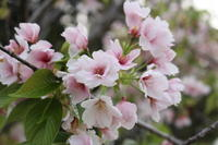 桜いろいろ - 猪こっと猛進