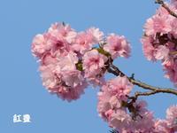 桜も色々 - 南都☆花模様