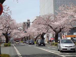 平和通りのさくら - 花と旅の香り