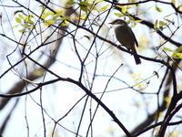長池公園でウグイス - 西多摩探鳥散歩