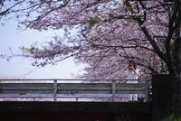 桜色のほっぺ - 「美は観る者の眼の中にある」