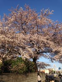 4月13日(木)桜満開宣言〜ご来店♪ - 吹奏楽酒場「宝島。」の日々