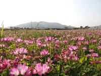 この広い野原いっぱい~レンゲ花 - テトラの徒然日記 ♪