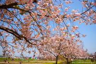 """a cherry tree"" - ~まきち写真工房~"