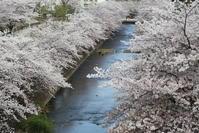 桜みち ♪ 恩田川 - 木洩れ日のなかで