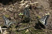 田植え前の水田でアゲハが集団吸水(千葉県松戸市、20170416) - Butterfly & Dragonfly
