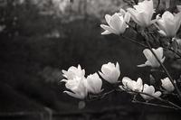 春に咲く - Life with Leica