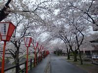 吉野山桜ポタ… - 50からの足習い