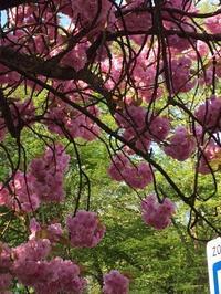 ブリュッセルの桜景色 - 小国での日々 第6章