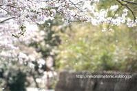 名残りの桜と、猫と、 - ねこの目天気。