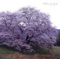 一本桜 - 癒しの空間