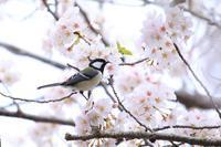 蓮華寺池公園の桜・4♪ - happy-cafe*vol.2