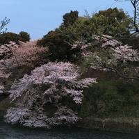 夕桜 - O-O―blog