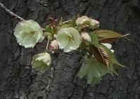 #サクラ 『鬱金』Prunus lannesiana cv. Grandiflora - 自然感察 *Nature * feeling*