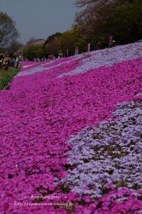 桜は散り始め - + anything goes +