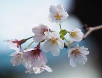 桜満開♪ - 好きな写真と旅とビールと