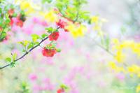 原谷苑のお花達〜木瓜〜 - *PHOTOMOMIN*