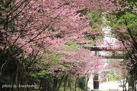 湖国桜シリーズ 近江神宮 - 「古都」大津 湖国から