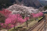 わ鉄桜めぐり(2) 神戸駅の桜と花桃 (撮影日:2017/4/13) - toshiさんの気まぐれフォトブログ