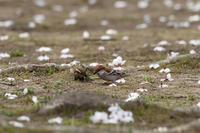 桜ニュウナイ - T/Hの野鳥写真-Ⅱ