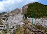 観桜ご近所ドライブツアー(4)  ~ 星への階 妙見山の桜 ~ - 大屋地爵士のJAZZYな生活