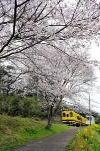 秘境駅に咲く桜といすみ300形+いすみ350形 いすみ鉄道 - My B Side Life season2