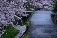 一躍の春:5:思いがけない桜 - walk with my Camera
