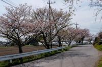 17さんぽ〜残りサクラ - 散歩と写真 Fotografia e Passeggiata