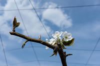 17さんぽ〜梨の花 - 散歩と写真 Fotografia e Passeggiata