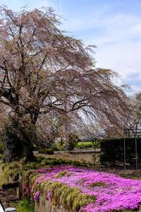 17さんぽ〜枝垂れ桜 - 散歩と写真 Fotografia e Passeggiata