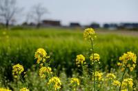 17さんぽ〜菜の花 - 散歩と写真 Fotografia e Passeggiata
