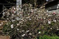 17さんぽ〜紅白の花 - 散歩と写真 Fotografia e Passeggiata