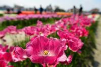 チューリップ公園 - ブナの写真日記