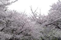 2017、高石の桜、その3。 - 晴れ 時々 日記 2