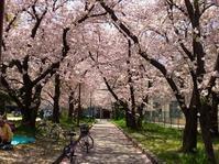 大新公園の桜 - 東 道のきのくに花街道
