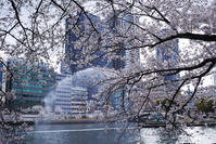 #dp2Q 大阪ならではの春景色 #桜 - 関西ウォーカー自遊人 Trial