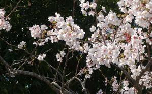 桜の位置 - 今日の一枚