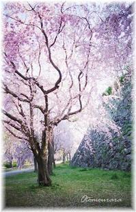 しだれ桜と黒猫 - 日々楽しく ♪mon bonheur