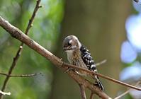 コゲラが木を突く - ずっこけ鳥撮り日記