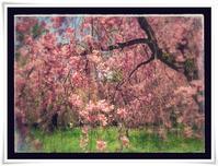 桜だより2017年その2 - ハチドリのブラジル・サンパウロ(時々日本)日記