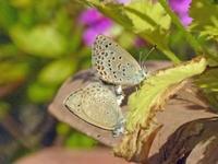 ヤマトシジミ   我が家の庭で - 蝶のいる風景blog