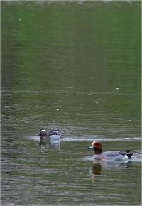 公園池のシマアジ@大阪府 - とことんデジカメ ♪野鳥写楽