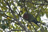 いつも枝被り@アオバト - とことんデジカメ ♪野鳥写楽