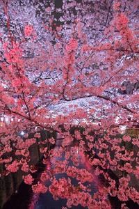 覆いつくす桜 - Today's one photograph