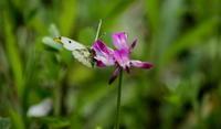 スプリングエフェメラル その4 - 紀州里山の蝶たち