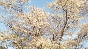 2017年(平成29年)の花見! - これもまた日常?